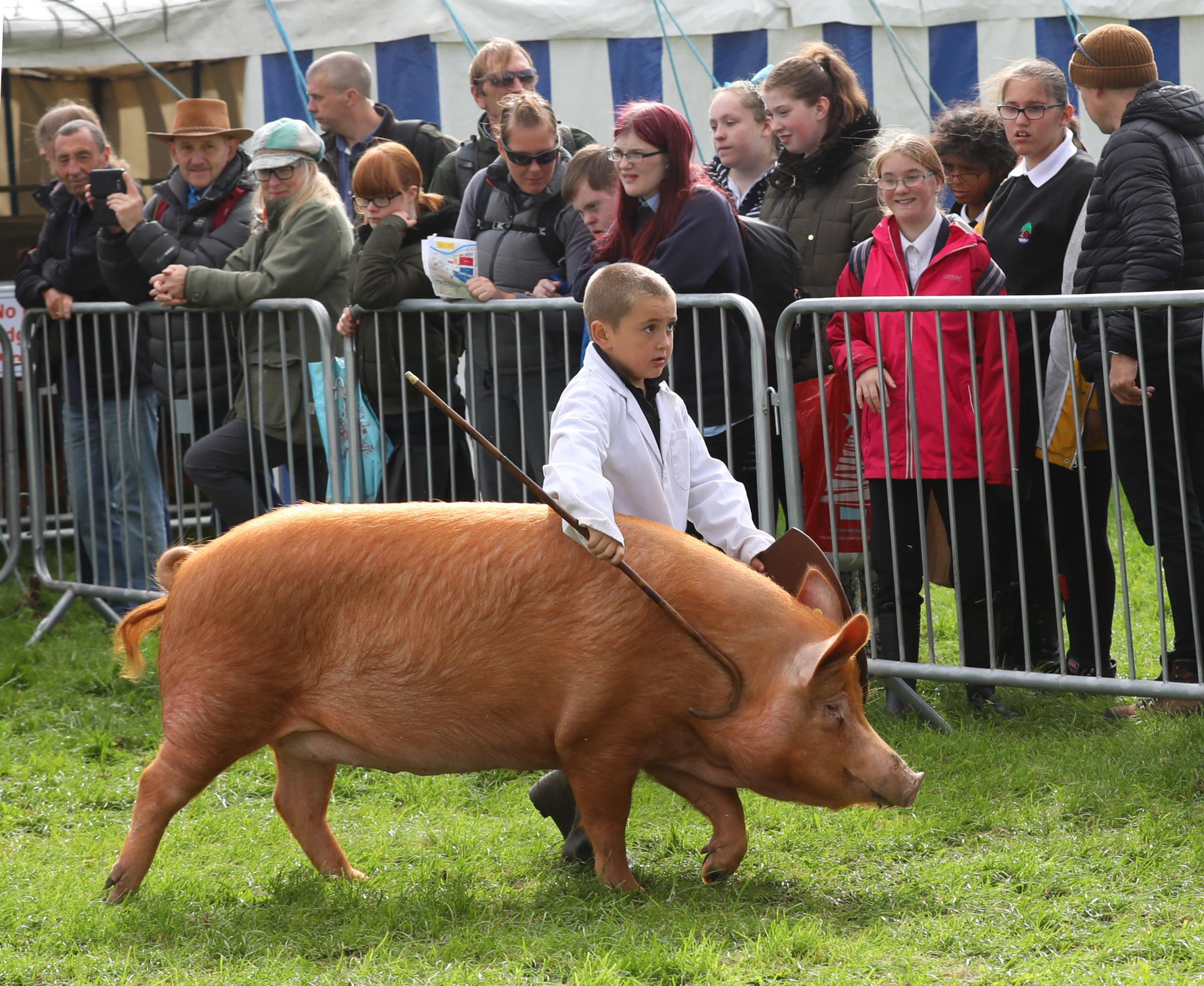 Young handler at Westmorland County Show